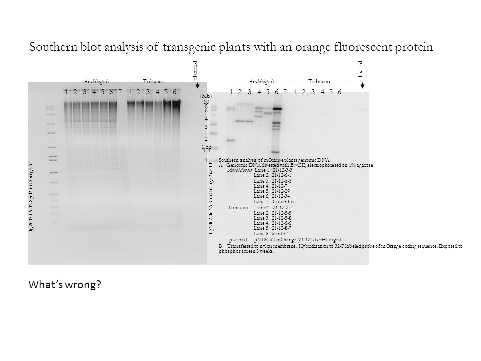 Southern blot analysis of transgenic plants with an orange fluorescent protein