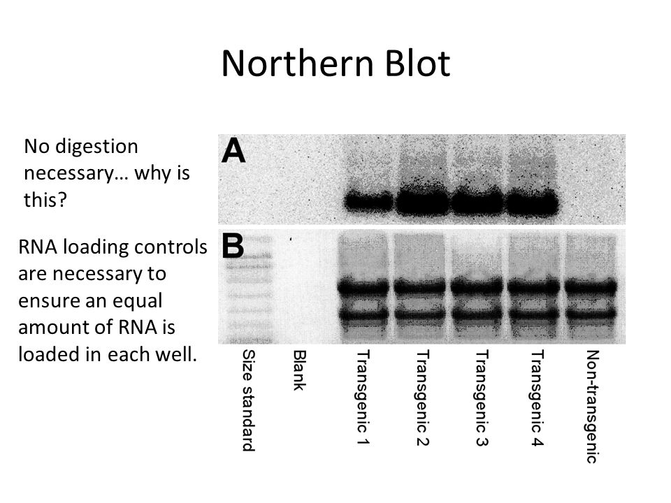 Northern Blot No digestion necessary… why is this