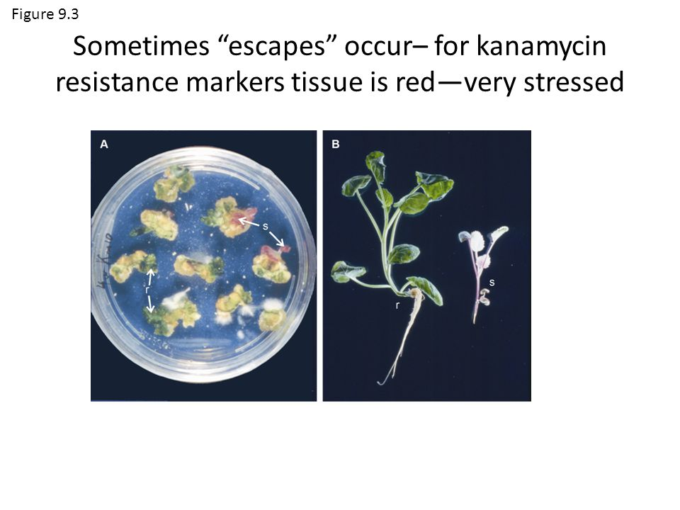 Figure 9.3 Sometimes escapes occur– for kanamycin resistance markers tissue is red—very stressed