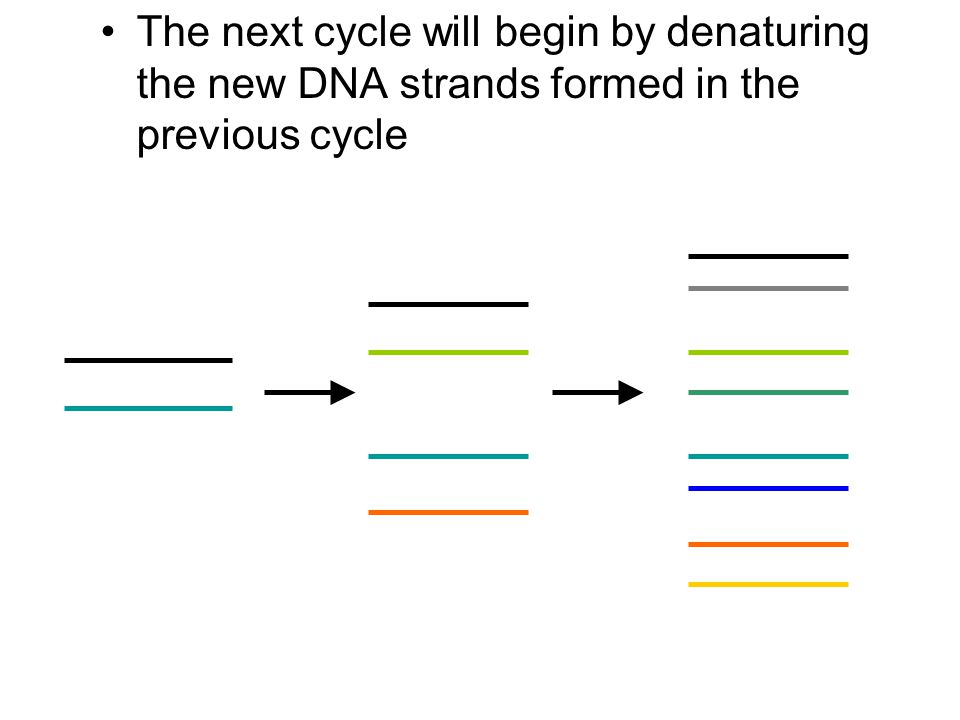 The next cycle will begin by denaturing the new DNA strands formed in the previous cycle