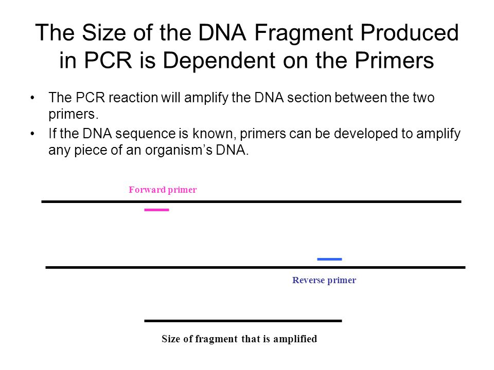 The Size of the DNA Fragment Produced in PCR is Dependent on the Primers