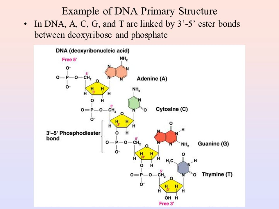Example of DNA Primary Structure