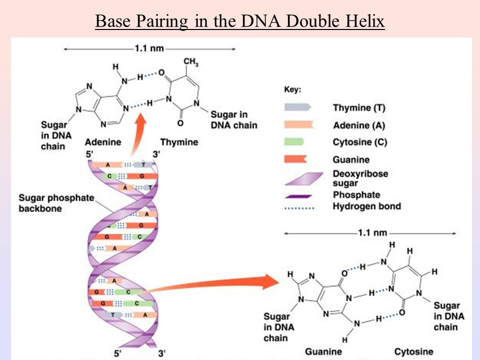 Base Pairing in the DNA Double Helix