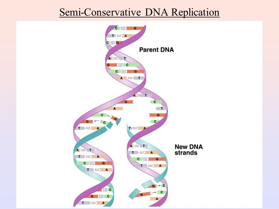 Semi-Conservative DNA Replication