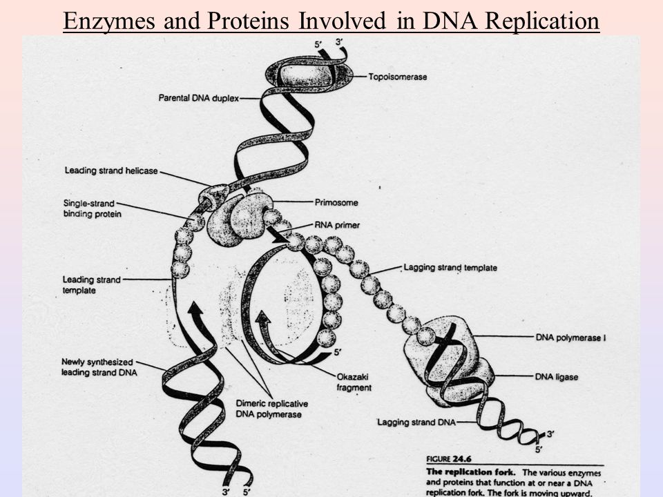 Enzymes and Proteins Involved in DNA Replication