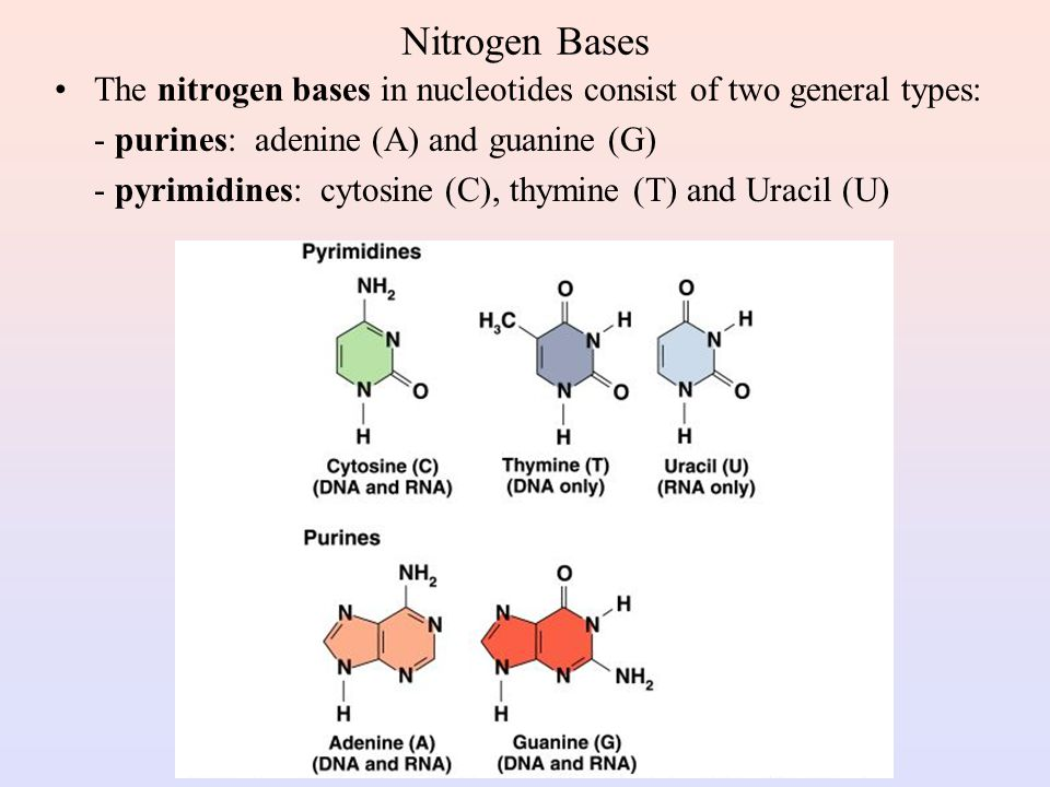 Nitrogen Bases The nitrogen bases in nucleotides consist of two general types: - purines: adenine (A) and guanine (G)