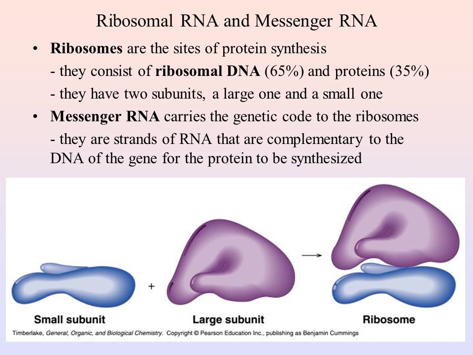 Ribosomal RNA and Messenger RNA