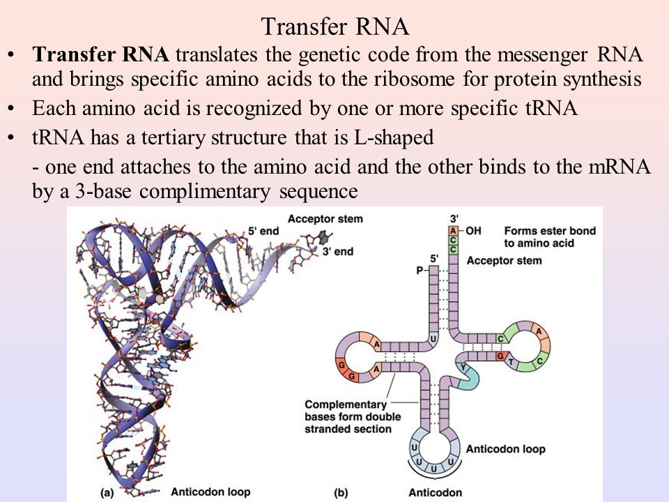 Transfer RNA Transfer RNA translates the genetic code from the messenger RNA and brings specific amino acids to the ribosome for protein synthesis.