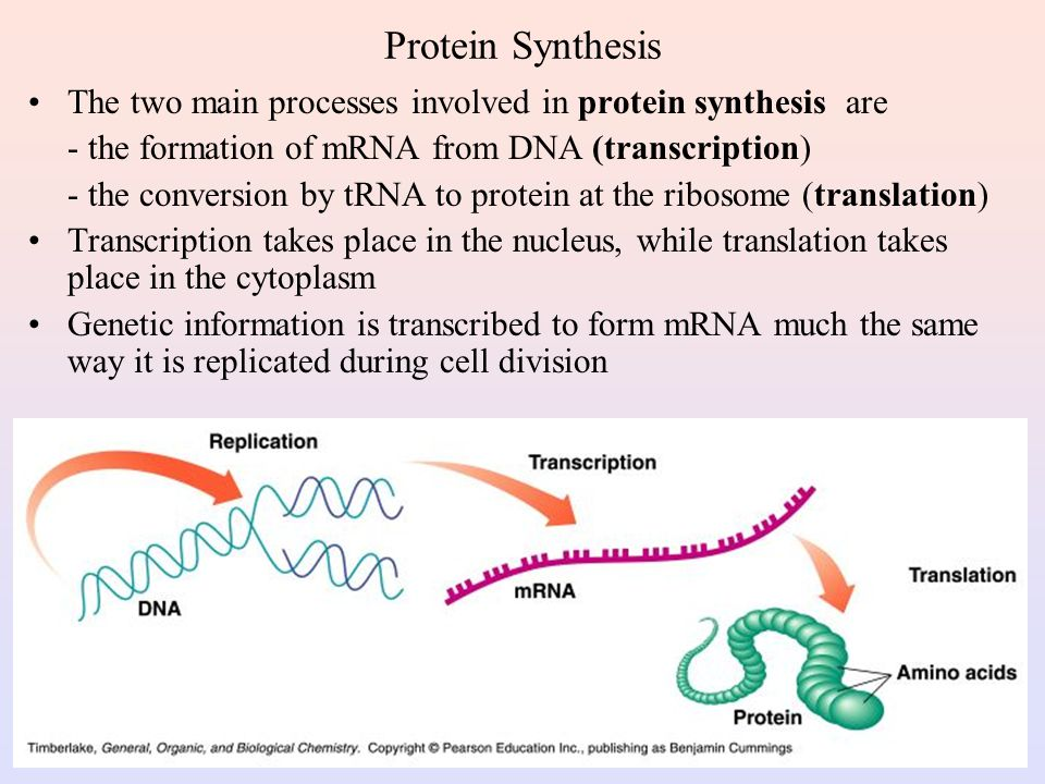 Protein Synthesis The two main processes involved in protein synthesis are. - the formation of mRNA from DNA (transcription)