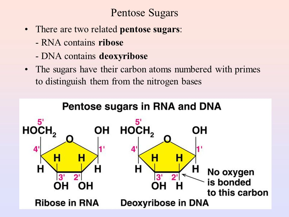 Pentose Sugars There are two related pentose sugars:
