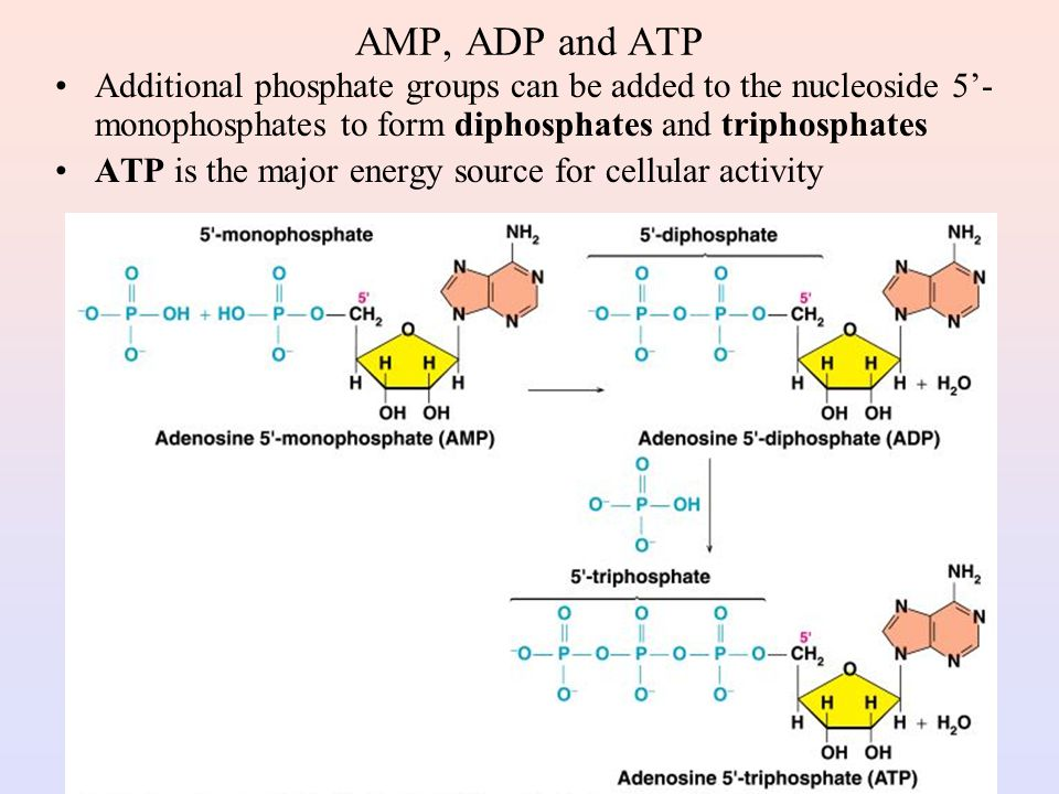AMP, ADP and ATP Additional phosphate groups can be added to the nucleoside 5'-monophosphates to form diphosphates and triphosphates.