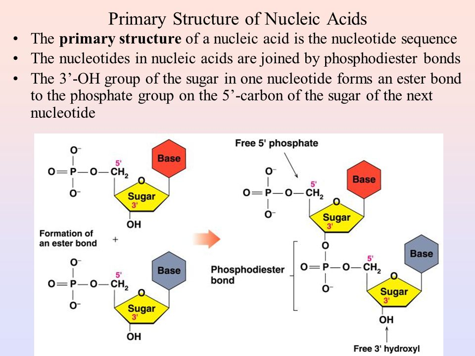 Primary Structure of Nucleic Acids