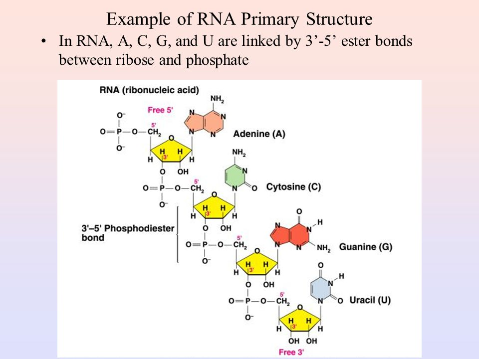 Example of RNA Primary Structure