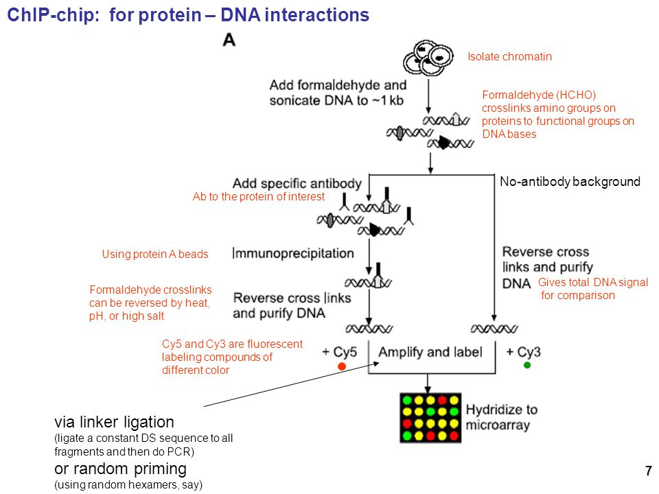 ChIP-chip: for protein – DNA interactions