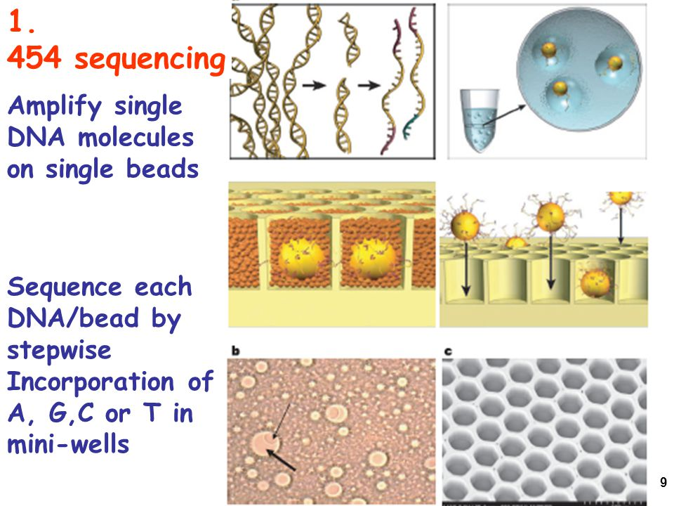 1. 454 sequencing Amplify single DNA molecules on single beads