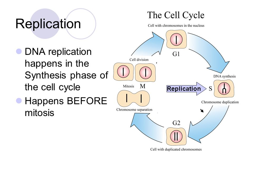Replication DNA replication happens in the Synthesis phase of the cell cycle. Happens BEFORE mitosis.