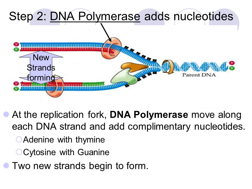 Step 2: DNA Polymerase adds nucleotides