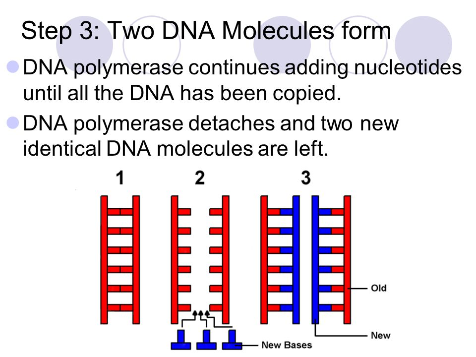 Step 3: Two DNA Molecules form
