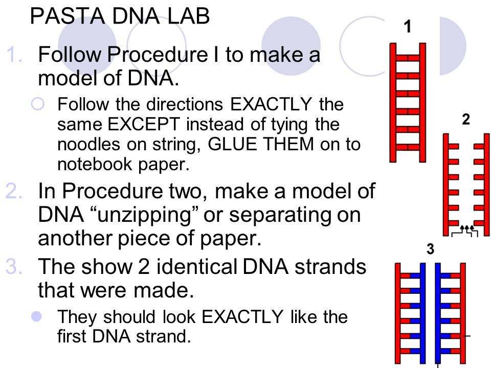 PASTA DNA LAB Follow Procedure I to make a model of DNA.