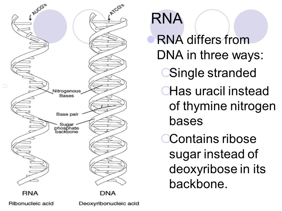 RNA RNA differs from DNA in three ways: Single stranded