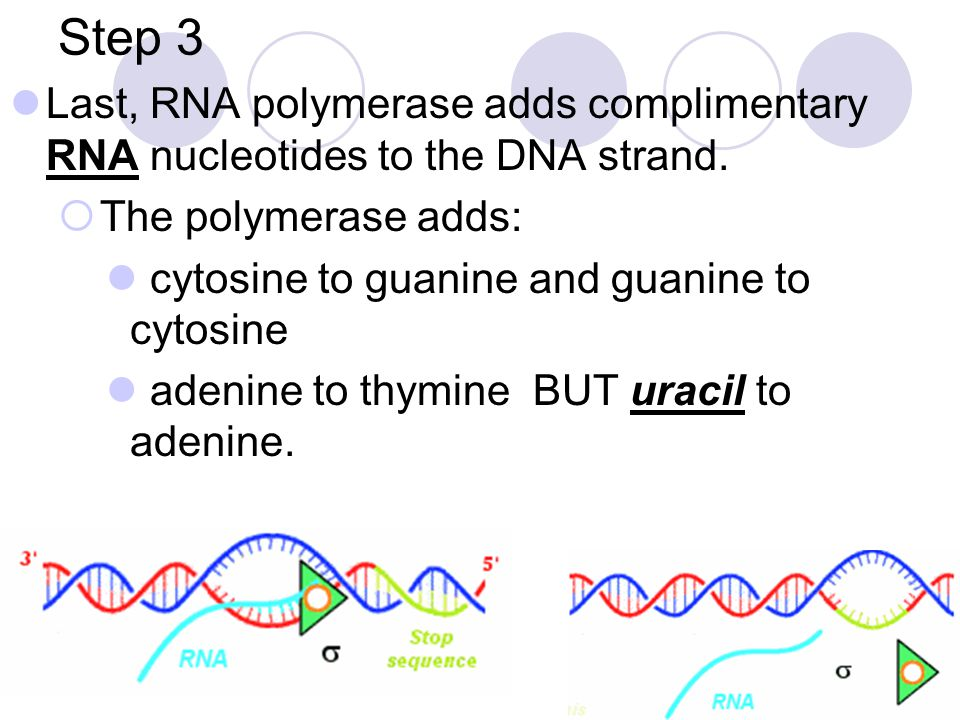 Step 3 Last, RNA polymerase adds complimentary RNA nucleotides to the DNA strand. The polymerase adds: