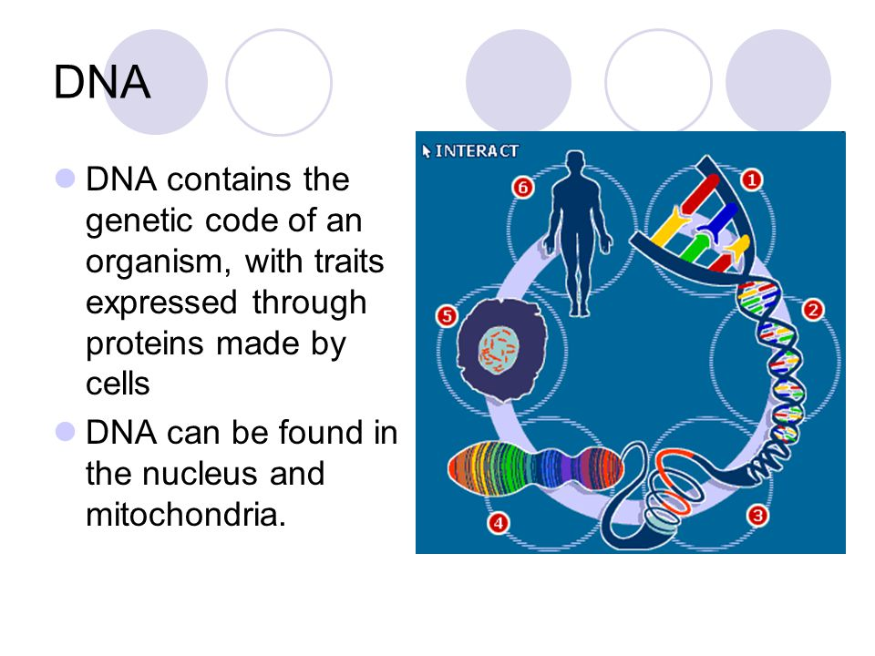 DNA DNA contains the genetic code of an organism, with traits expressed through proteins made by cells.