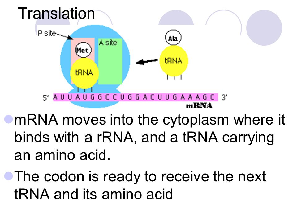 Translation mRNA moves into the cytoplasm where it binds with a rRNA, and a tRNA carrying an amino acid.