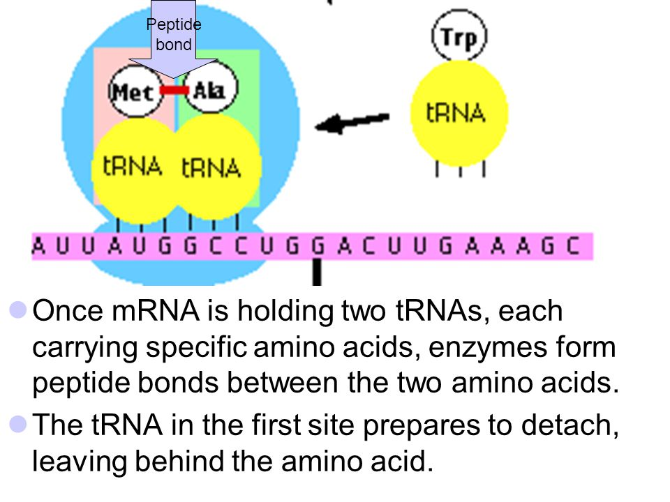 Peptide bond. Once mRNA is holding two tRNAs, each carrying specific amino acids, enzymes form peptide bonds between the two amino acids.