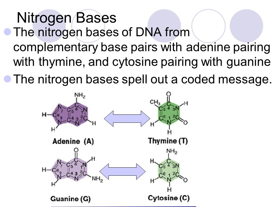 Nitrogen Bases The nitrogen bases of DNA from complementary base pairs with adenine pairing with thymine, and cytosine pairing with guanine.