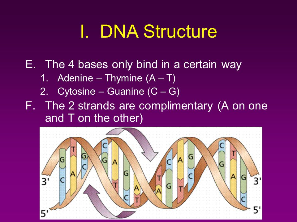 I. DNA Structure The 4 bases only bind in a certain way