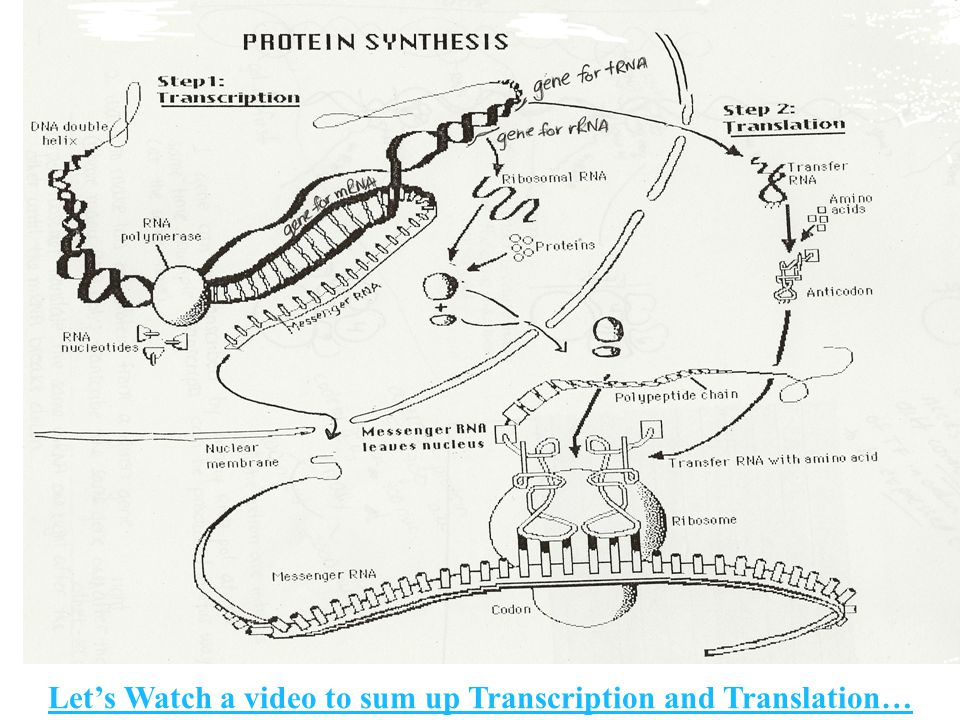 Let's Watch a video to sum up Transcription and Translation…