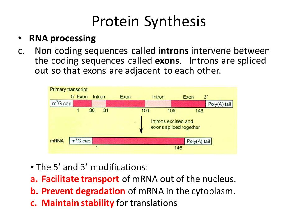 Protein Synthesis RNA processing