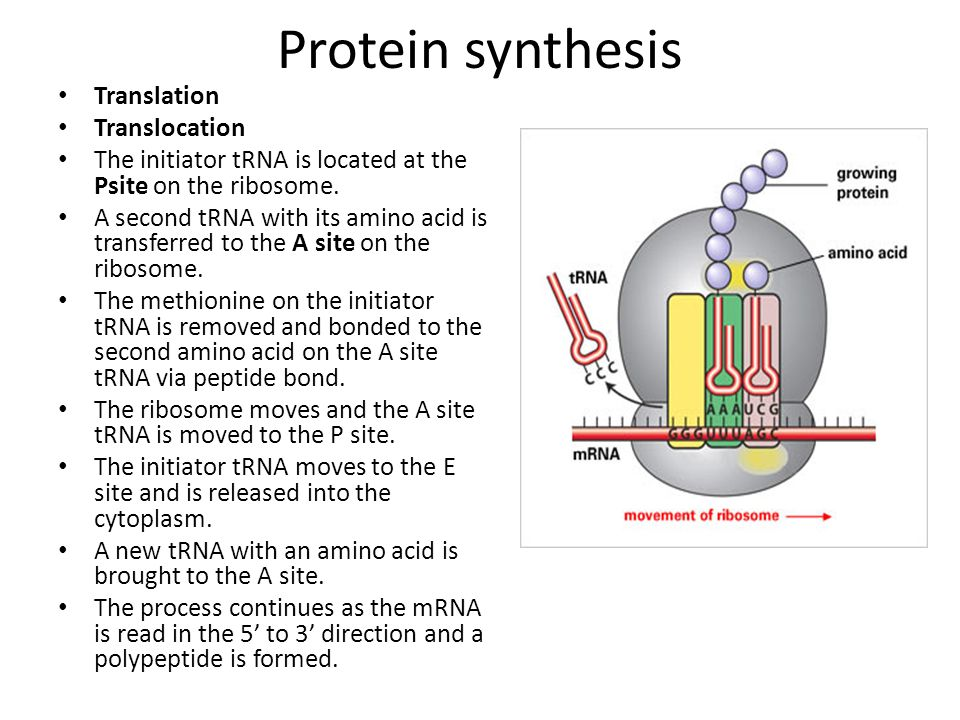 Protein synthesis Translation Translocation