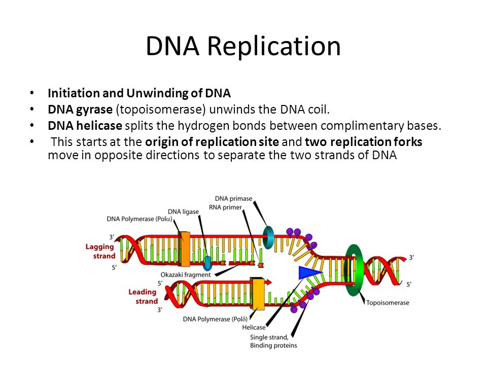 DNA Replication Initiation and Unwinding of DNA