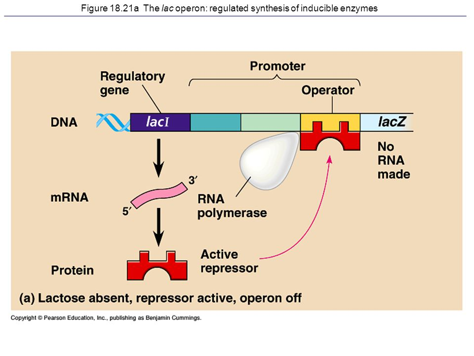 Figure 18.21a The lac operon: regulated synthesis of inducible enzymes