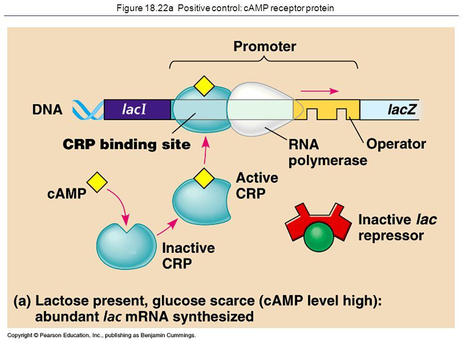 Figure 18.22a Positive control: cAMP receptor protein