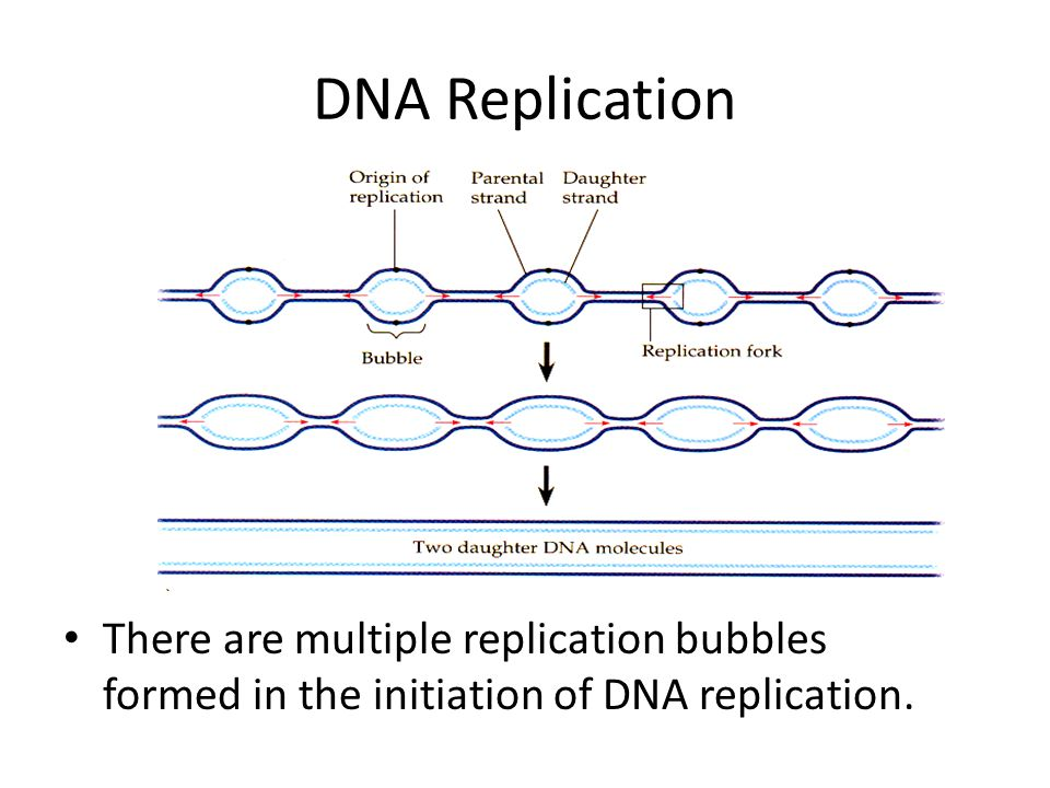 DNA Replication There are multiple replication bubbles formed in the initiation of DNA replication.