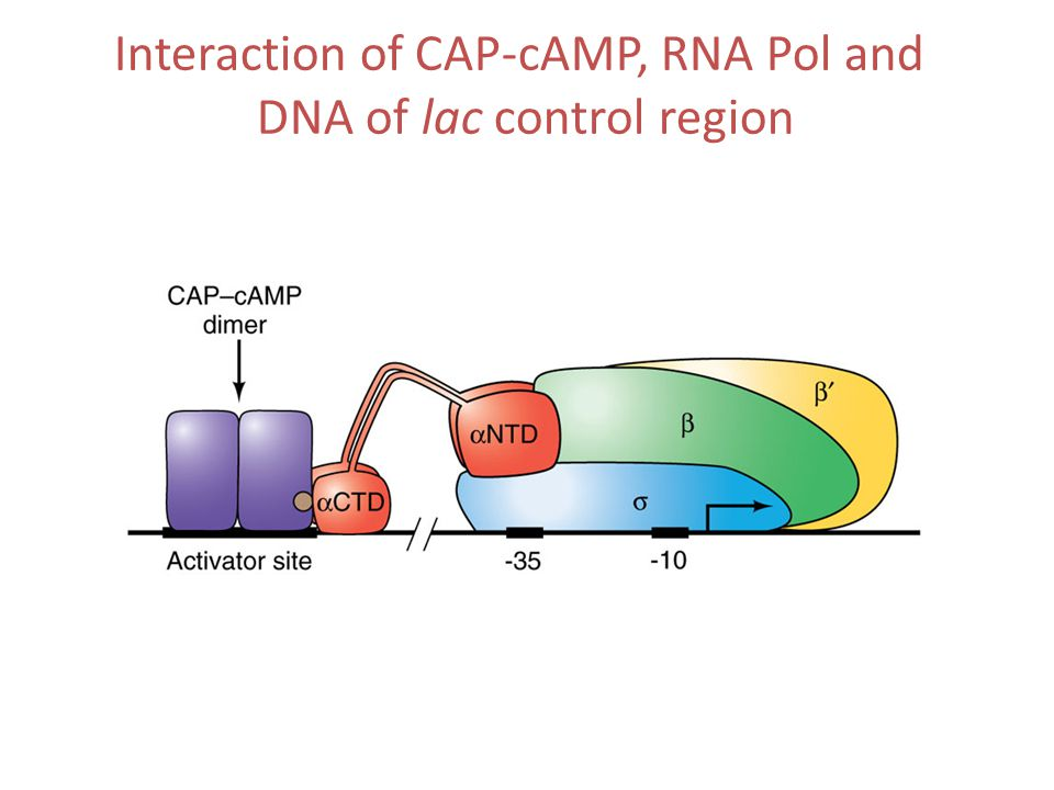 Interaction of CAP-cAMP, RNA Pol and DNA of lac control region