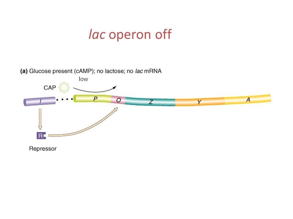 lac operon off low