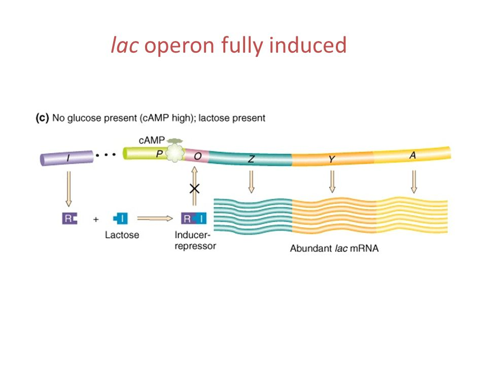 lac operon fully induced