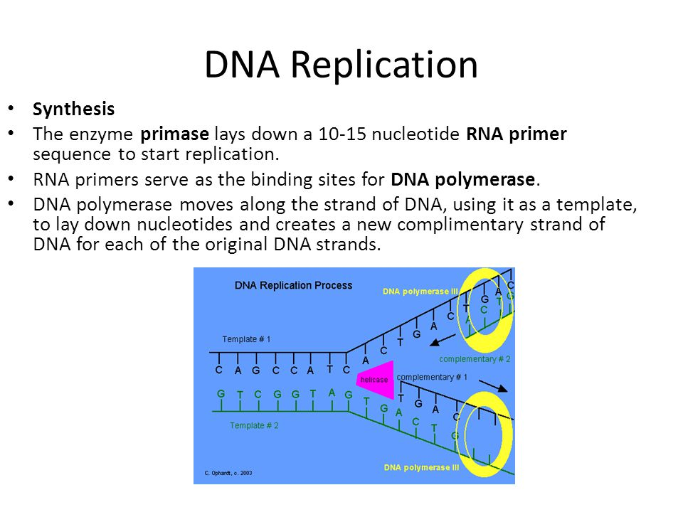 DNA Replication Synthesis