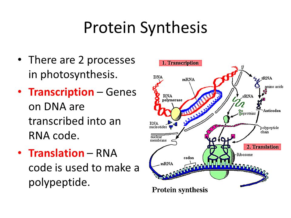 Protein Synthesis There are 2 processes in photosynthesis.