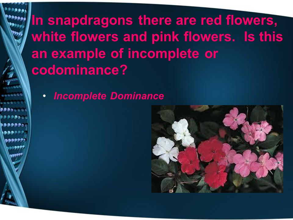 In snapdragons there are red flowers, white flowers and pink flowers