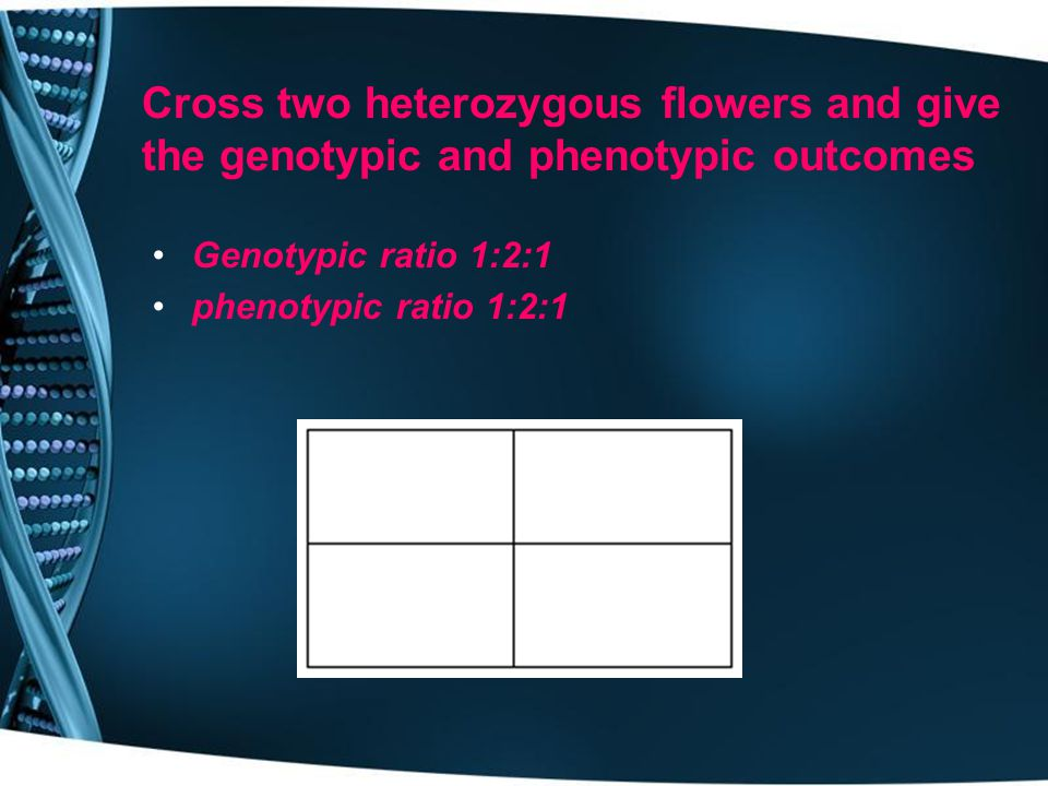 Cross two heterozygous flowers and give the genotypic and phenotypic outcomes