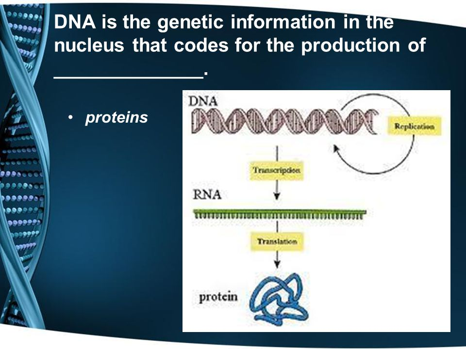 DNA is the genetic information in the nucleus that codes for the production of ______________.
