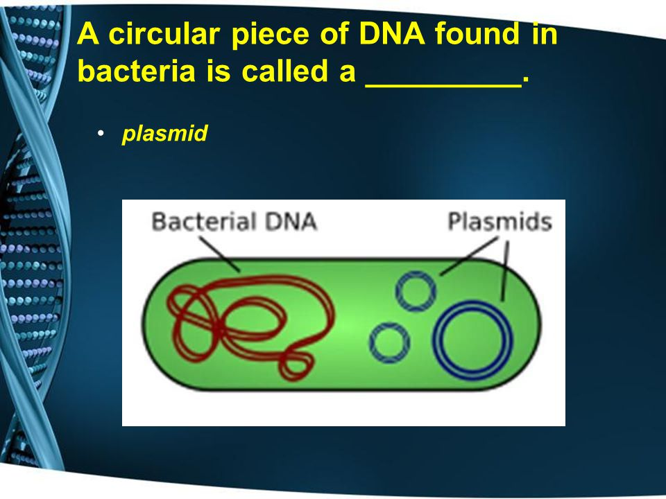 A circular piece of DNA found in bacteria is called a _________.