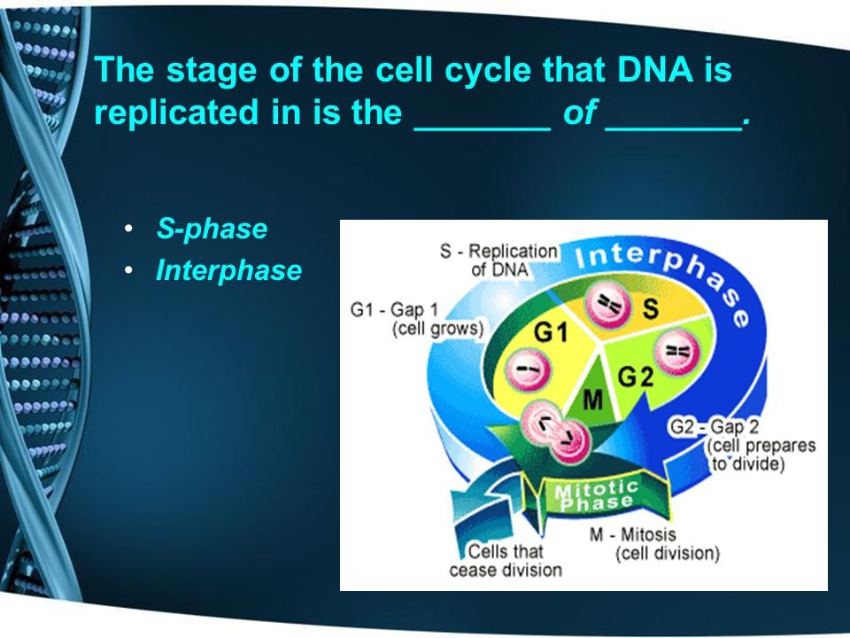 The stage of the cell cycle that DNA is replicated in is the _______ of _______.