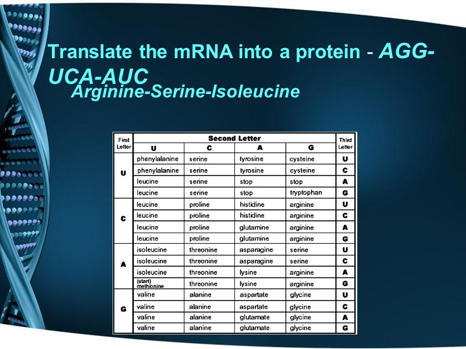 Translate the mRNA into a protein - AGG-UCA-AUC