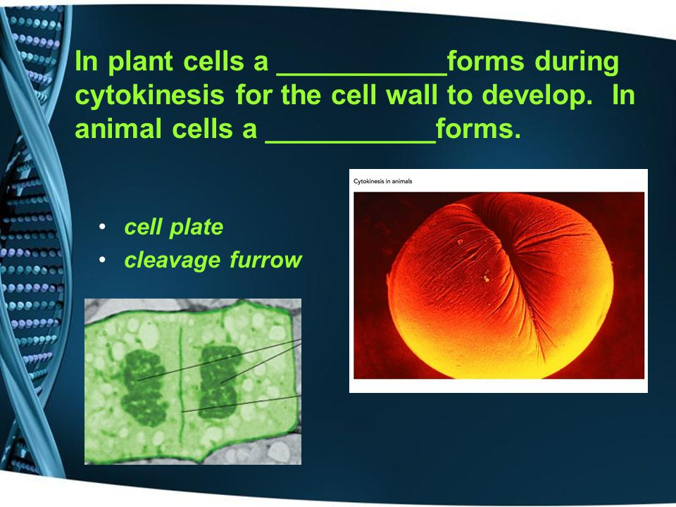 In plant cells a ___________forms during cytokinesis for the cell wall to develop. In animal cells a ___________forms.