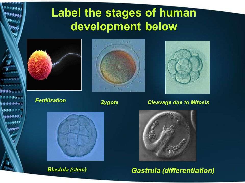 Label the stages of human development below